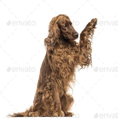 Irish Setter sitting, pawing up, isolated on white