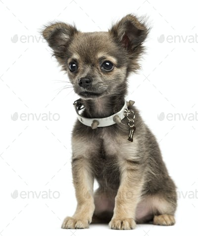 Chihuahua puppy sitting, 3 months old, isolated on white