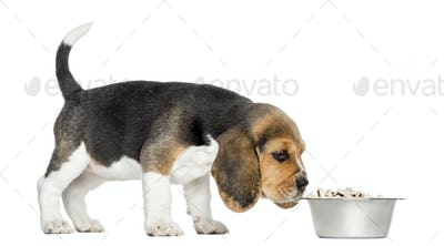 Side view of a Beagle puppy standing, sniffing food in a bowl, isolated on white