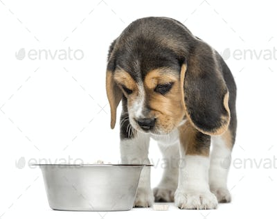 Front view of a Beagle puppy looking down at his dog bowl, isolated on white