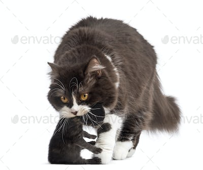 Front view of British Longhair carrying a one week old kitten, isolated on white