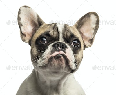 Close-up of a French Bulldog, isolated on white