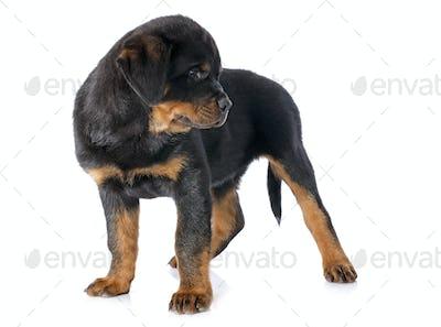 puppy rottweiler