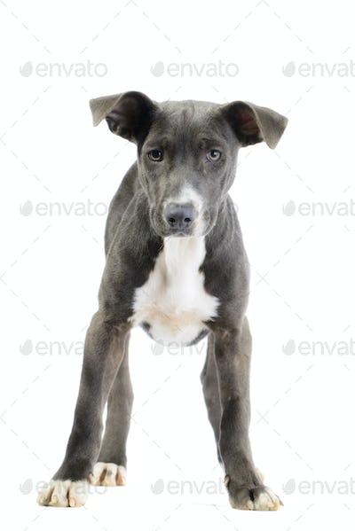 Hound/pitbull/weimaraner mix puppy isolated on white background