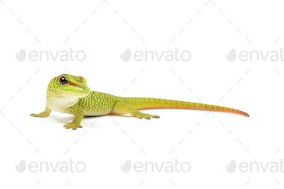 Baby Madagascar Day Gecko