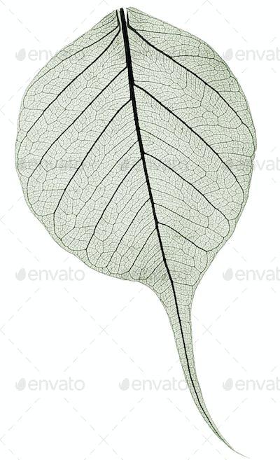 dark gree transparent dried fallen leaf
