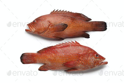 Coral Hind fishes