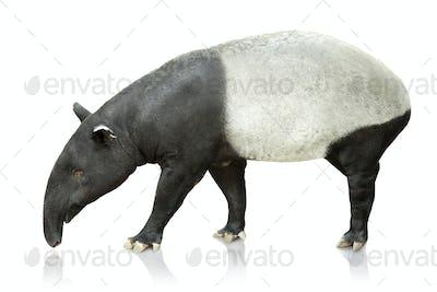 Portrait of tapir on white background