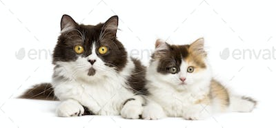 British longhair and highland straight kitten lying together, isolated on white