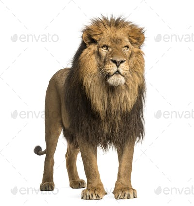 Lion standing, Panthera Leo, 10 years old, isolated on white