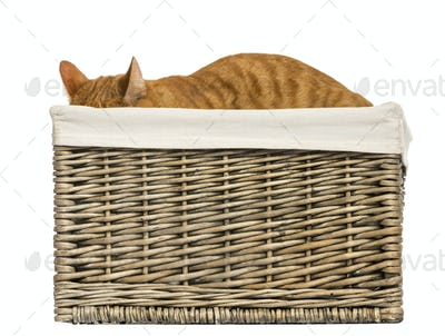 European shorthair hiding in a wicker basket, isolated on white