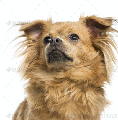 Close-up of a Chihuahua looking up, 8 months old, isolated on white