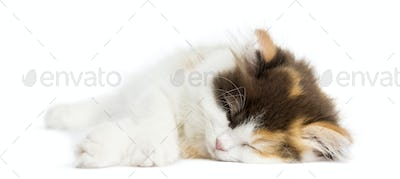 Higland straight kitten lying down, sleeping, isolated on white