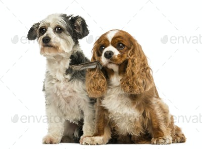 Cavalier King Charles Spaniel with a feather in its mouth and Crossbreed dog sitting