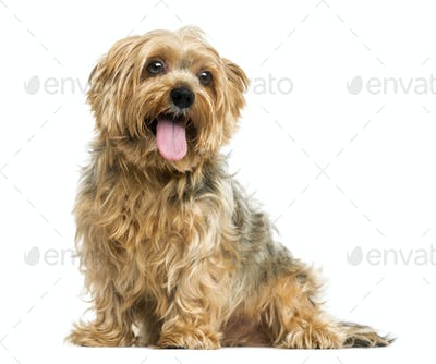 Yorkshire Terrier sitting, panting, 5 years old, isolated on white