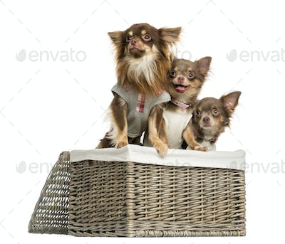 Group of dressed-up Chihuahuas looking away in a wicker basket, isolated on white