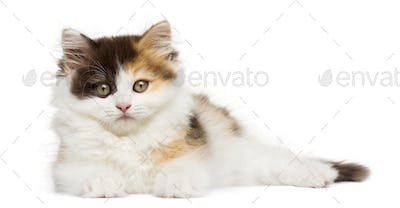 Higland straight kitten lying down, looking at the camera, isolated on white