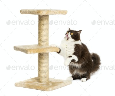 British longhair preparing to jump on a cat tree, isolated on white