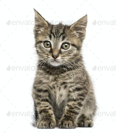 Front view of an European shorthair kitten sitting, 2 months old, isolated on white