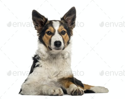 Front view of a Border Collie lying, looking at the camera, isolated on white