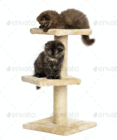 Highland fold kittens playing on a cat tree, isolated on white