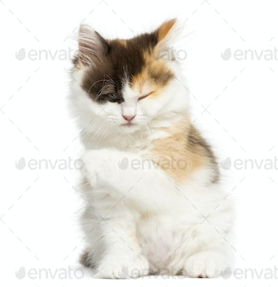 Higland straight kitten sitting, having a wash, isolated on white