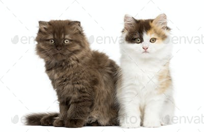 Higland straight and fold kittens sitting next to each other, isolated on white
