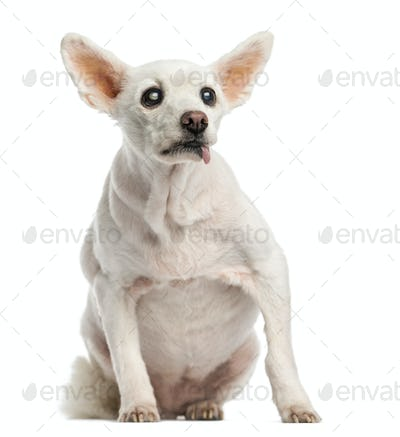 Old sick dog with cataract, sitting, 15 years old, isolated on white