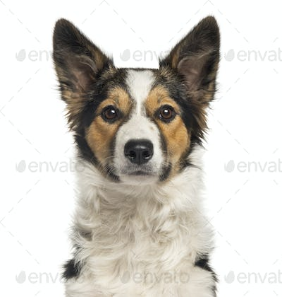 Close-up of a Border Collie, looking at the camera, isolated on white
