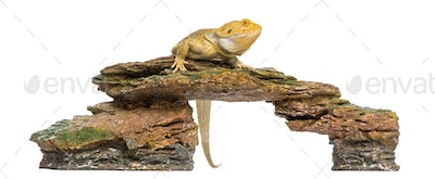 Bearded Dragon perched on a stone, Pogona vitticeps, 5 years old, isolated on white