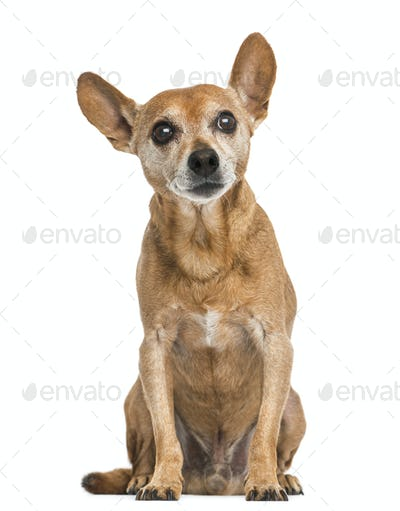Front view of an old German pinscher, 13 years old, isolated on white
