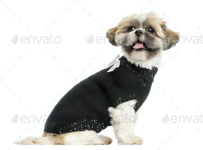 Side view of a dressed-up Shih tzu panting, 2 years old, isolated on white