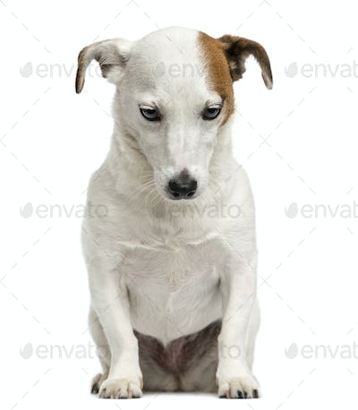Front view of a Jack Russell Terrier sitting, looking down, 6 years old, isolated on white