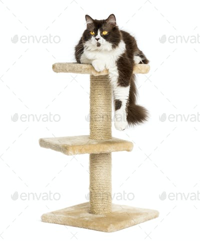 Front view of a British longhair perched on top of a cat tree, isolated on white