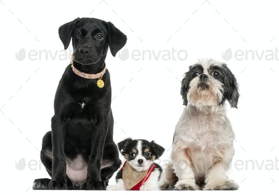 Group of dogs sitting together, isolated on white