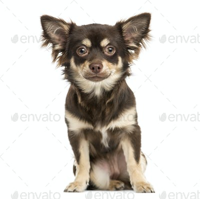 Front view of a Chihuahua sitting, looking at the camera, 7 months old, isolated on white