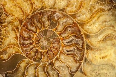 Nautilus shell fossil