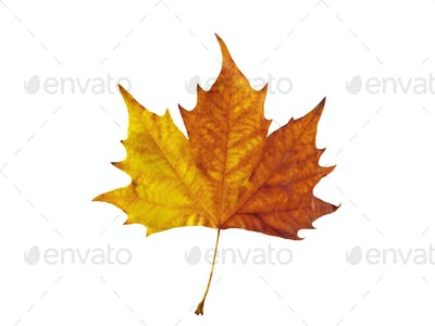 Maple Leafe