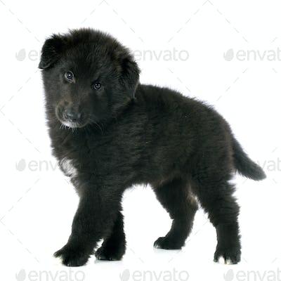 puppy groenendael