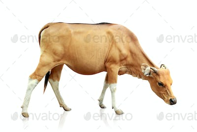 brown banteng isolated on white background