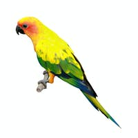 Sun Conure parakeet