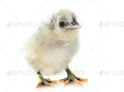 young chick
