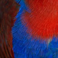 Electus parrot feather