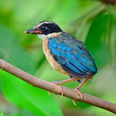 juvenile Blue-winged Pitta