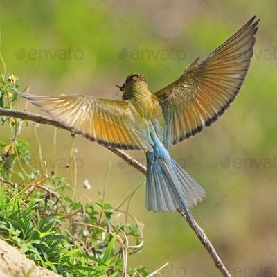Green-taied Bee-eater