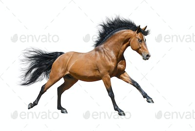 Chestnut Stallion in motion on White background