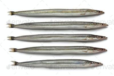 Lesser sand eels