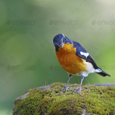 male Mugimaki Flycatcher