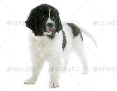 landseer puppy