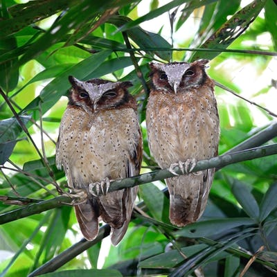 White-fronted Scops Owls